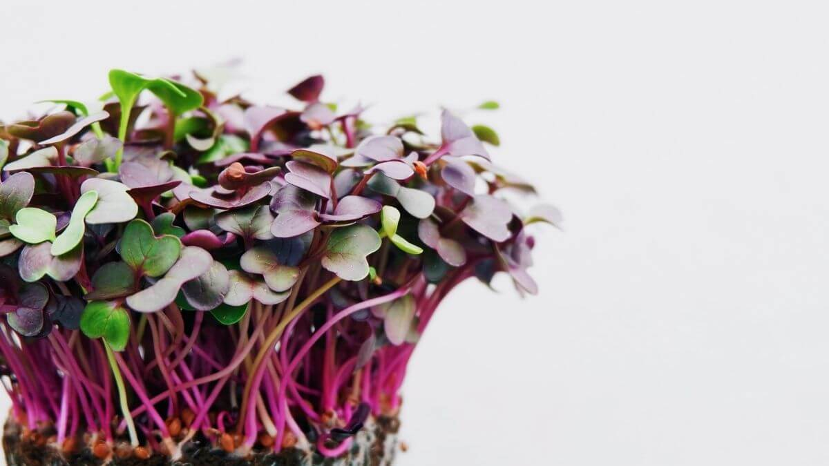 Know About Microgreens   Types & Uses