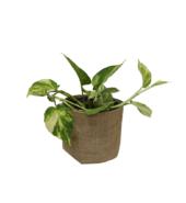 Money Plant in Jute Planter