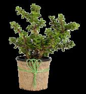 Jade Plant in Jute Wrapper Pot